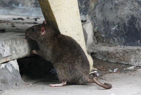 Chuột trong nhà